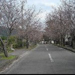 敷地前桜並木(周辺)